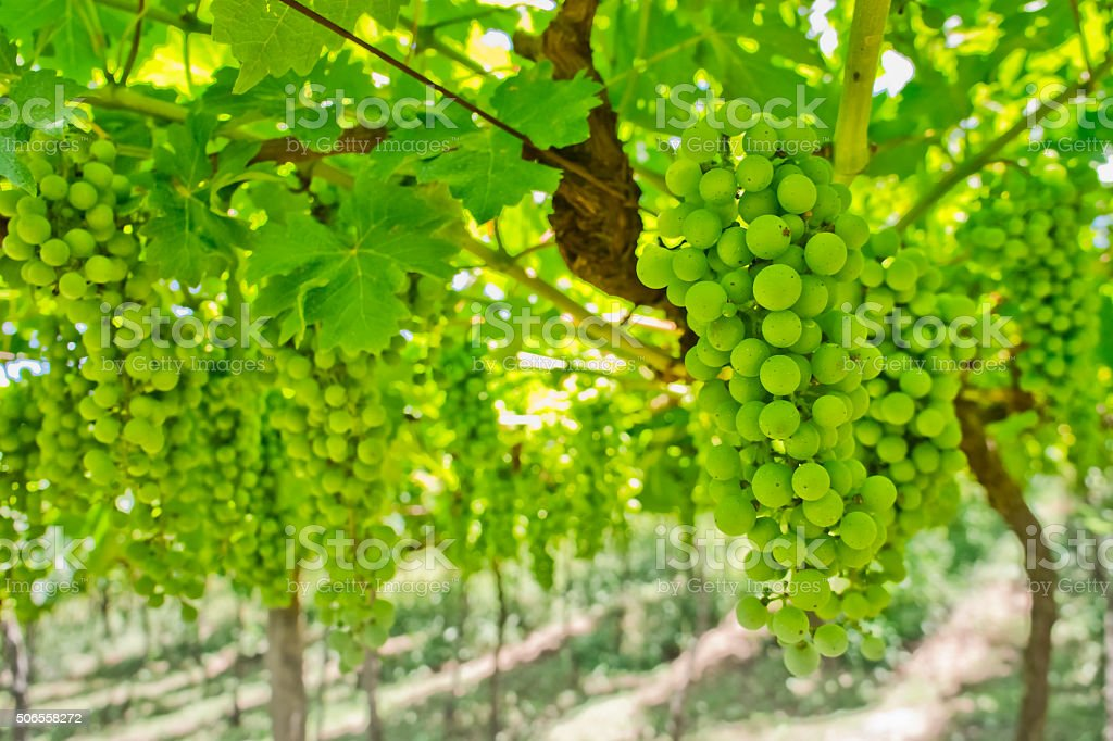 White Grapes on the Vine stock photo