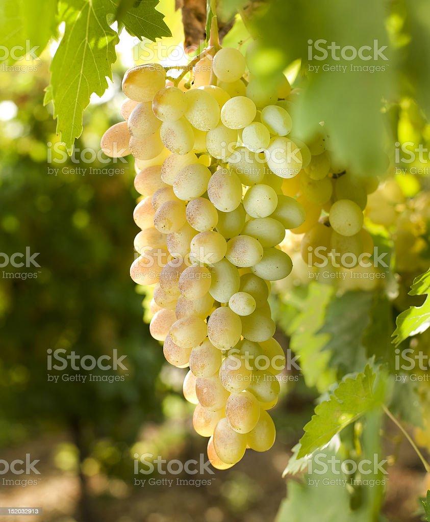 white grapes on vine royalty-free stock photo