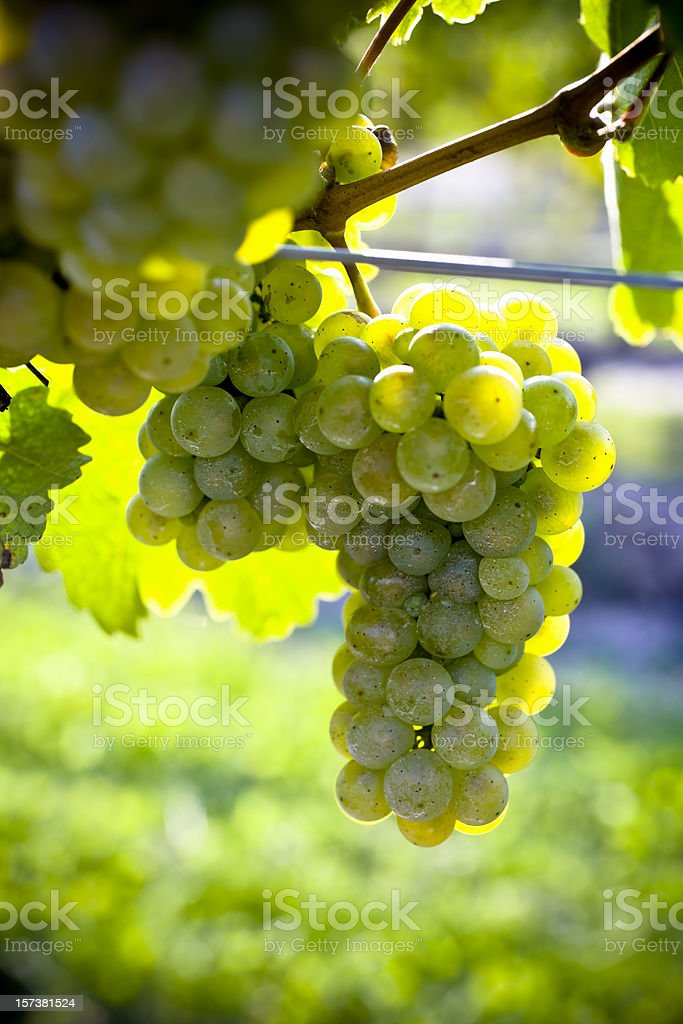 White Grapes on Vine royalty-free stock photo