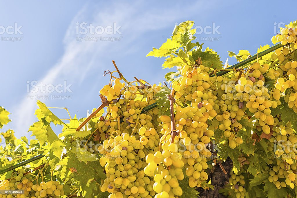 White grapes royalty-free stock photo