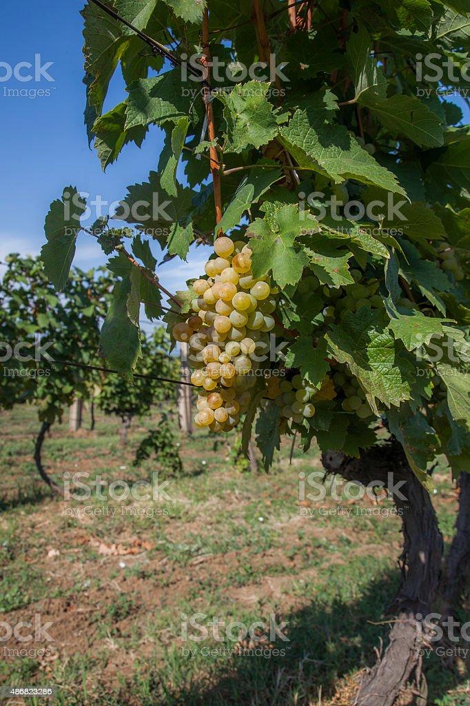 white grapes stock photo
