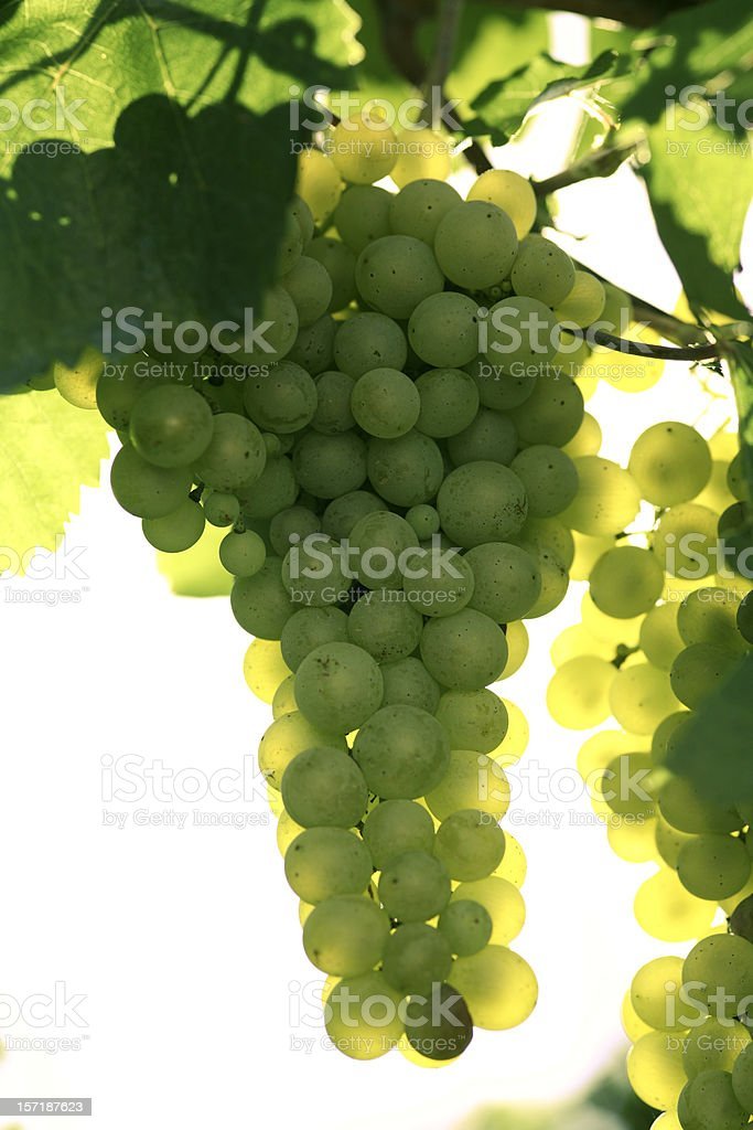 white grapes, sunbathing stock photo
