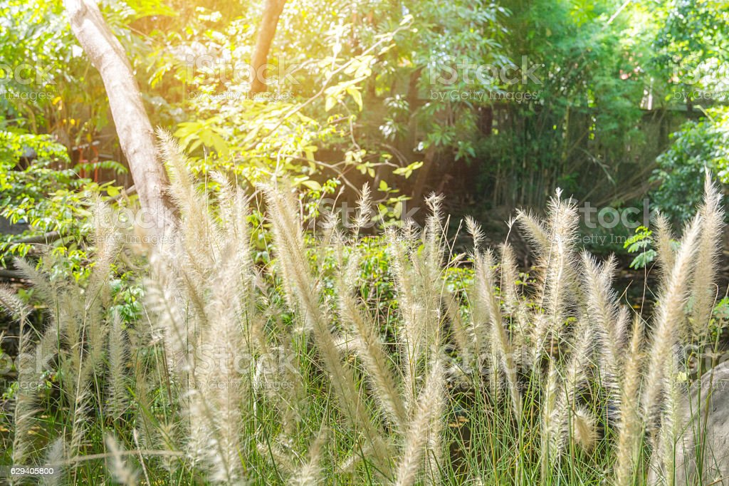 white grass in tropical field stock photo
