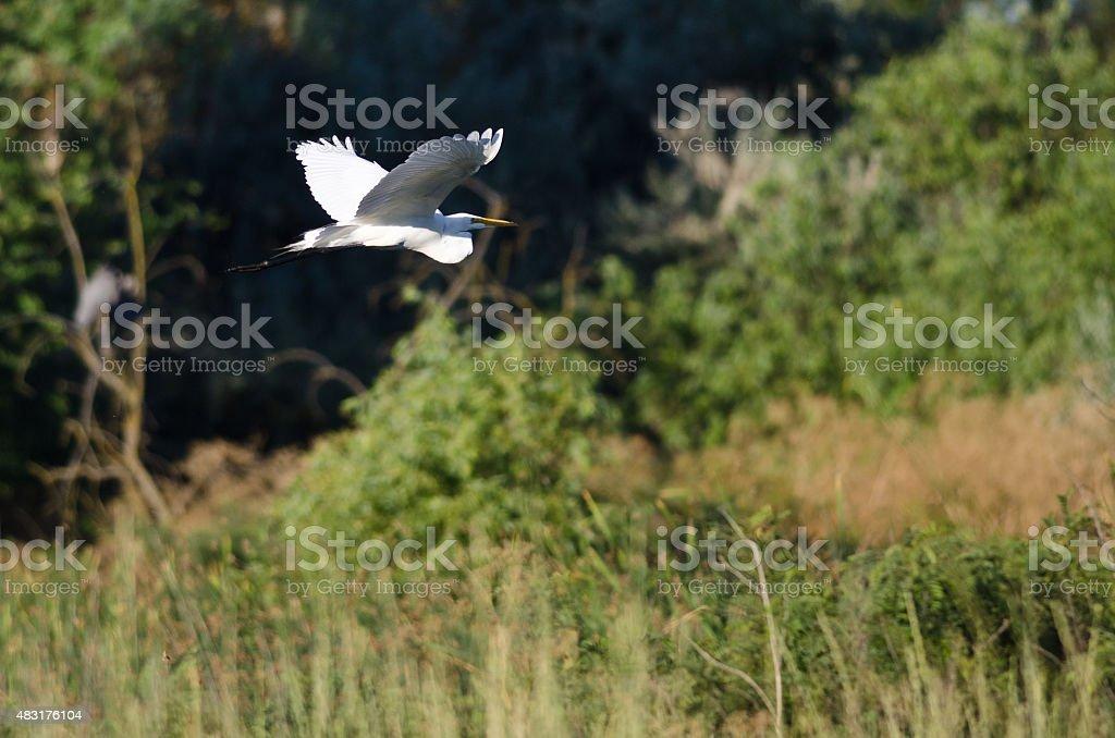 White Great Egret Flying Above The Marsh stock photo