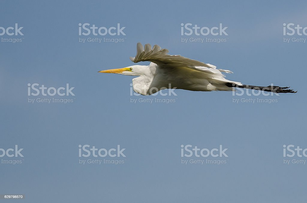 White Great Egret Flying in a Blue Sky stock photo