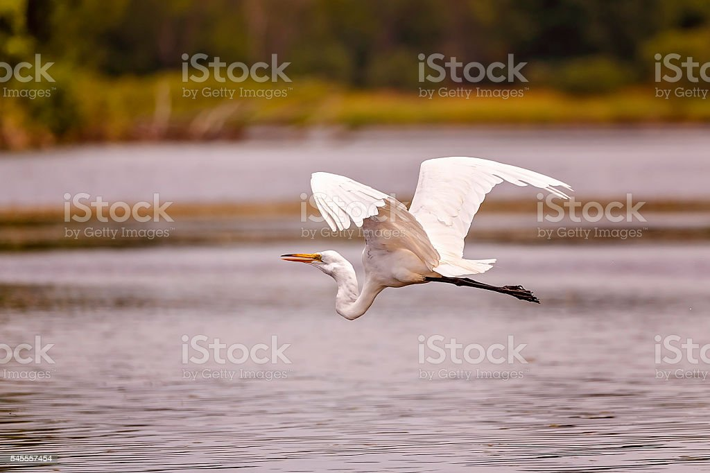 White, Great Egret stock photo