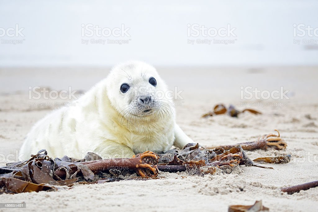 White grey baby seal  looks inquisitively royalty-free stock photo