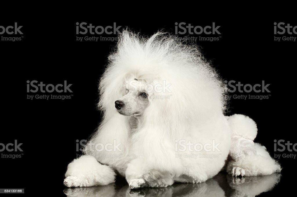 White Groomed Poodle Dog Lying Isolated on Black Background stock photo