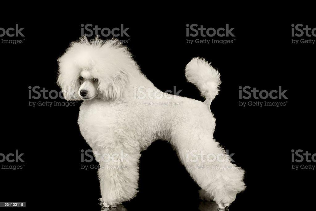 White Groomed Poodle Dog Standing Isolated on Black Background stock photo