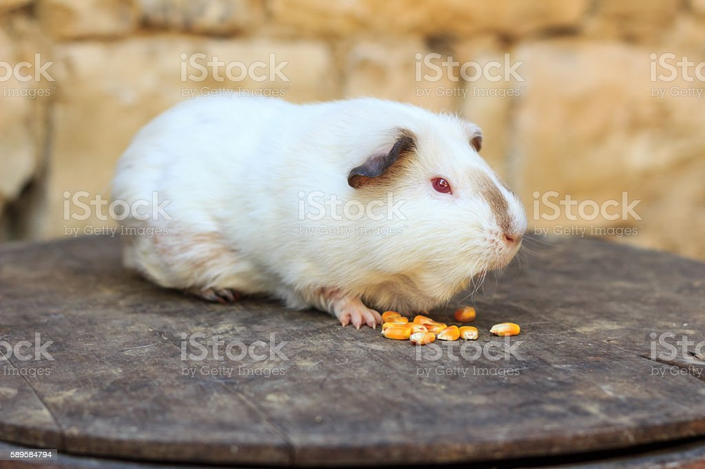 White guinea pig eating raw corn beans stock photo
