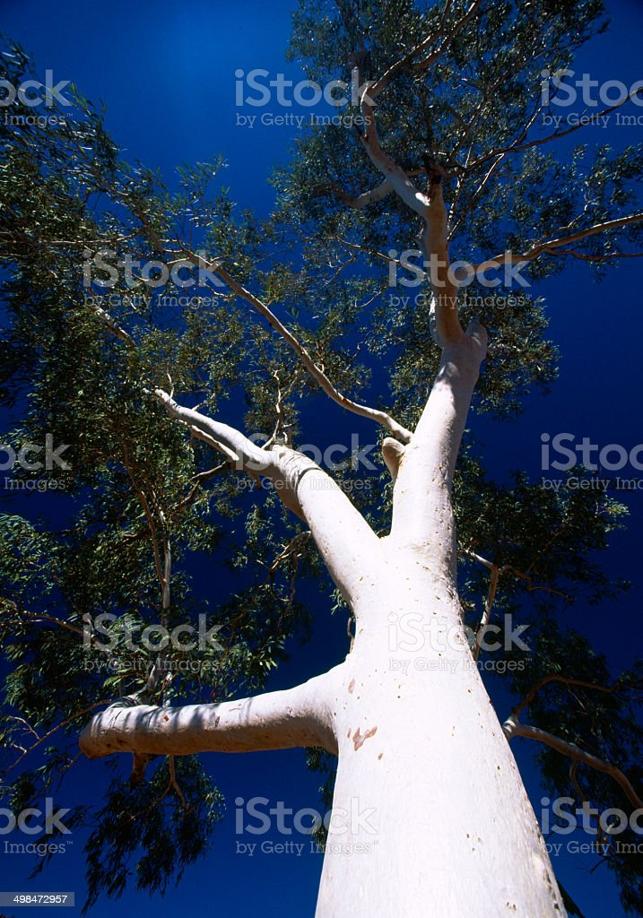 White Gum Tree, Northern Territory, Australia royalty-free stock photo