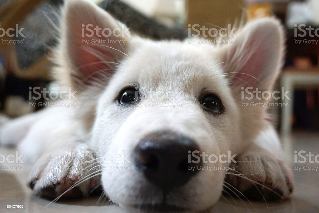white hair puppy lying on the floor stock photo