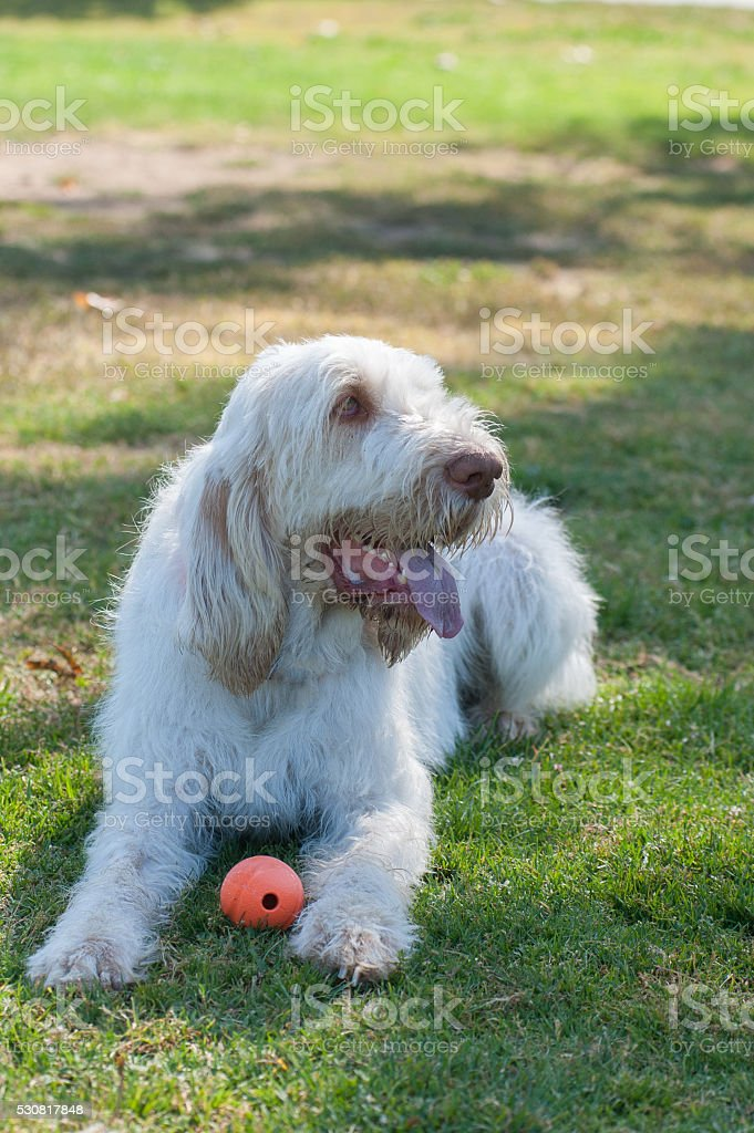 White haired dog panting in the shade. stock photo