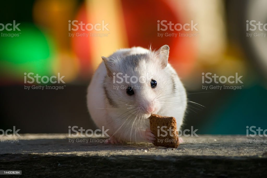White hamster royalty-free stock photo