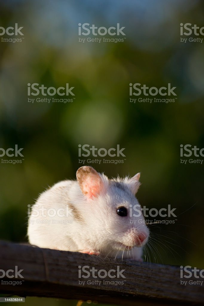 White hamster royalty-free stock photo