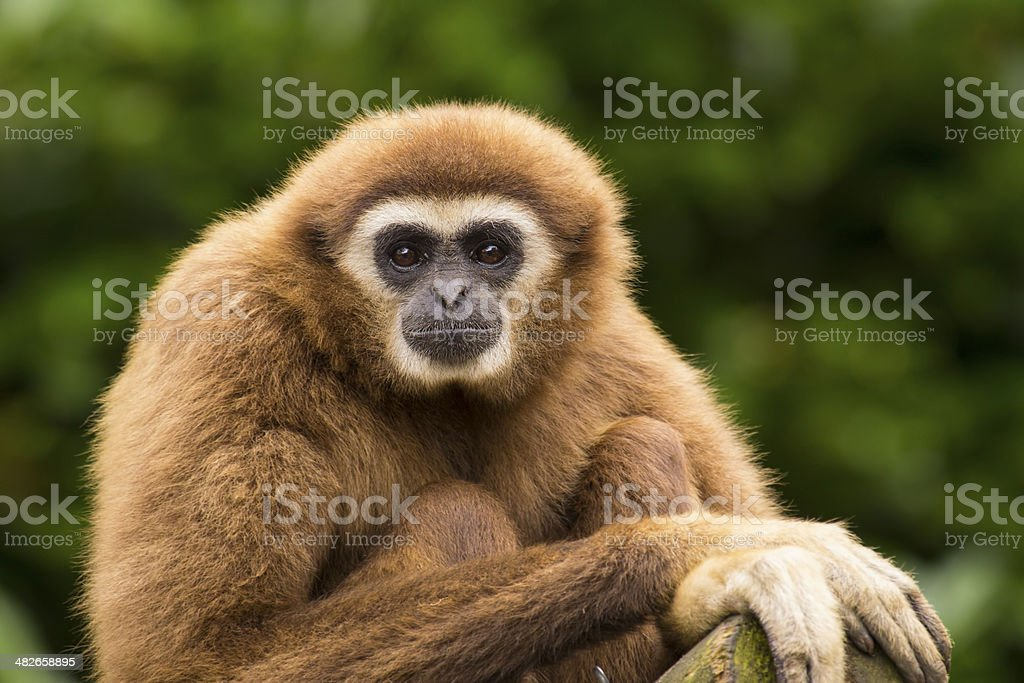 White handed gibbon eye contact stock photo