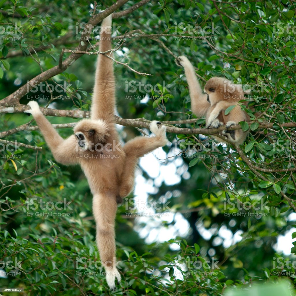White handed Gibbon stock photo