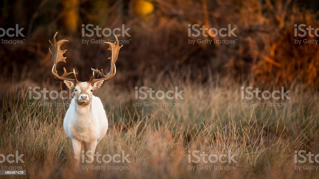 White Hart stock photo