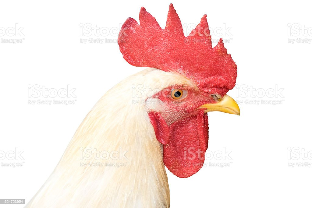 White Head chicken bantam ,Rooster isolated on white (Die cutting) stock photo