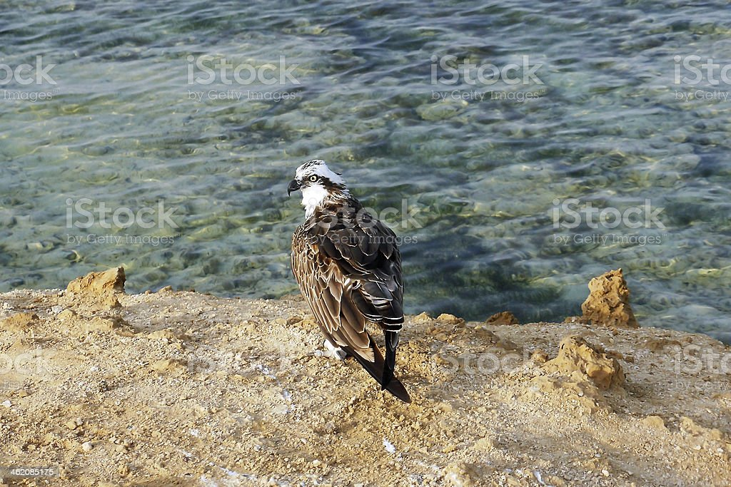 white head lake eagle stock photo