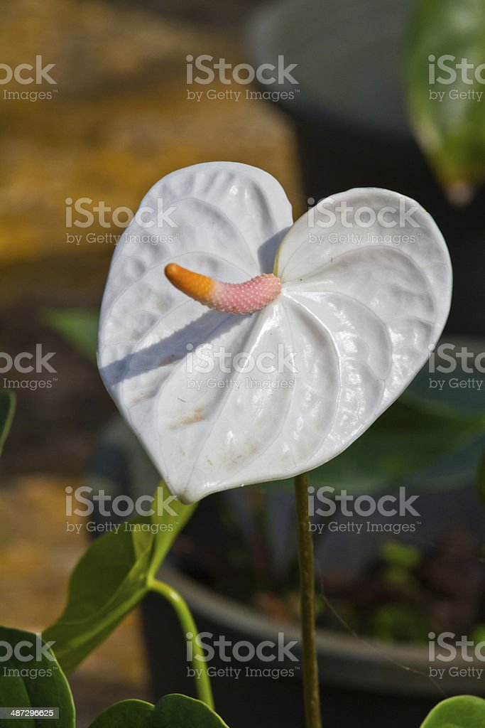 white heart,anthurium flower stock photo