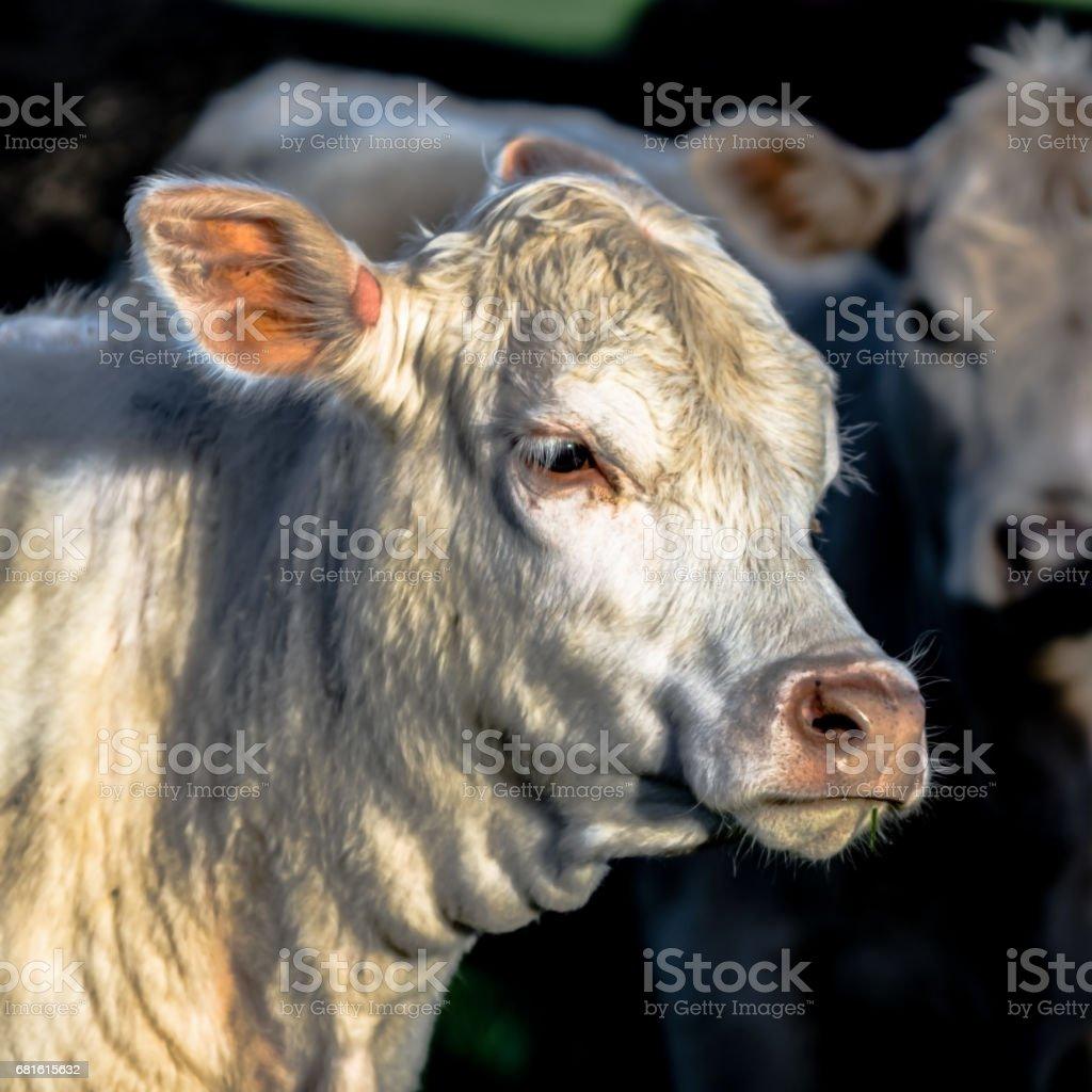 white heifer head - square stock photo