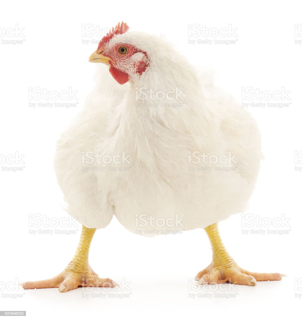 White hen stock photo