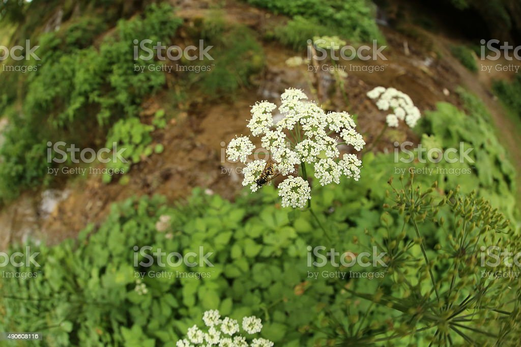 White herb and wasp stock photo