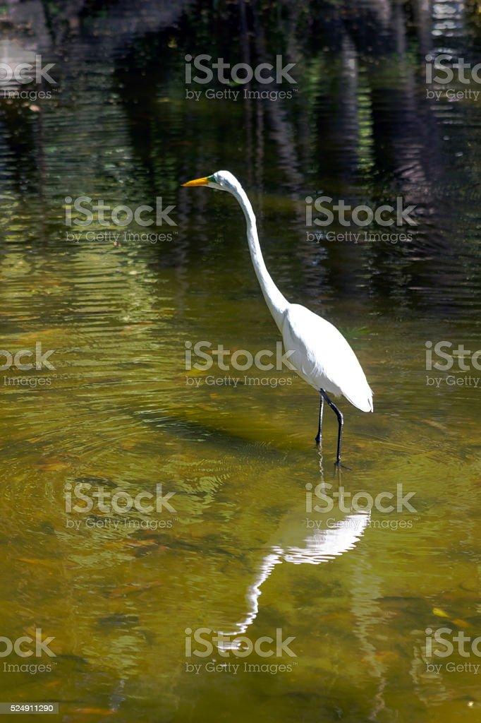 White Heron in the lake, alone stock photo