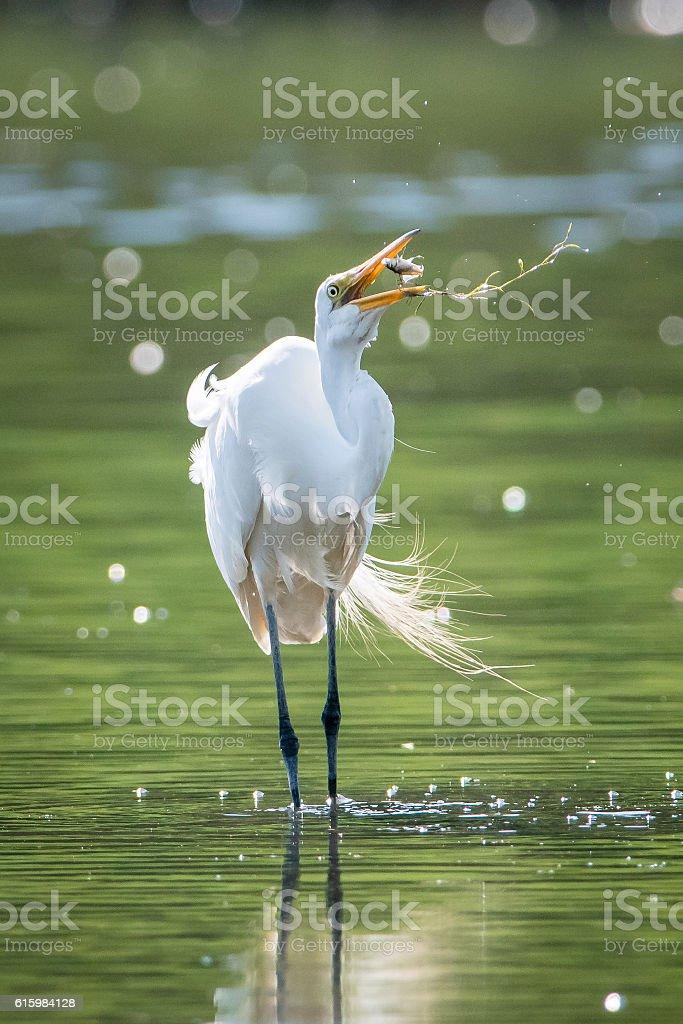 white heron in the water catching fish stock photo