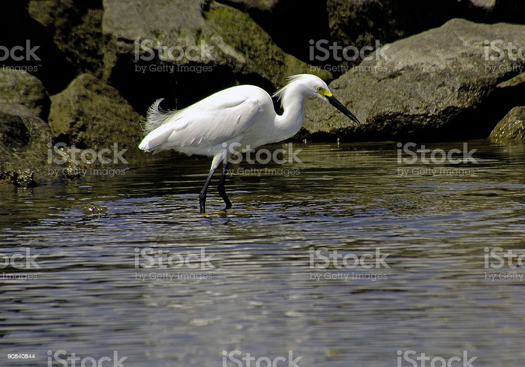 white heron on bay near rocks royalty-free stock photo