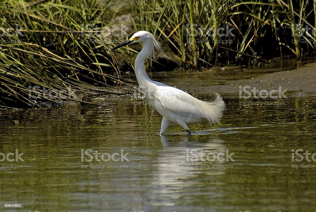 white heron on the bay royalty-free stock photo
