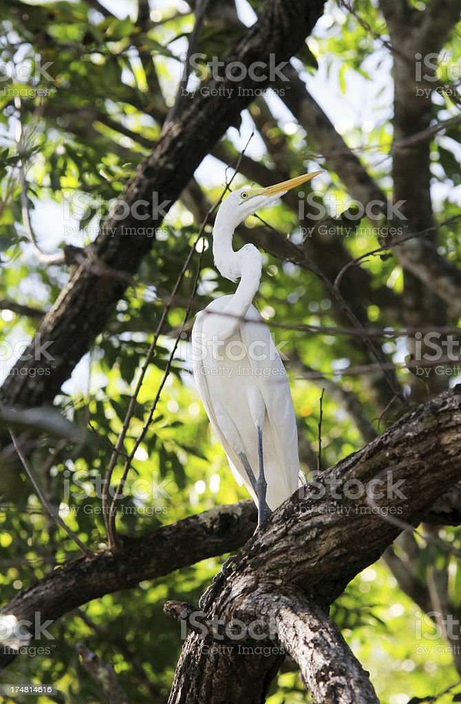 White Heron Perched on a Tree Branch stock photo