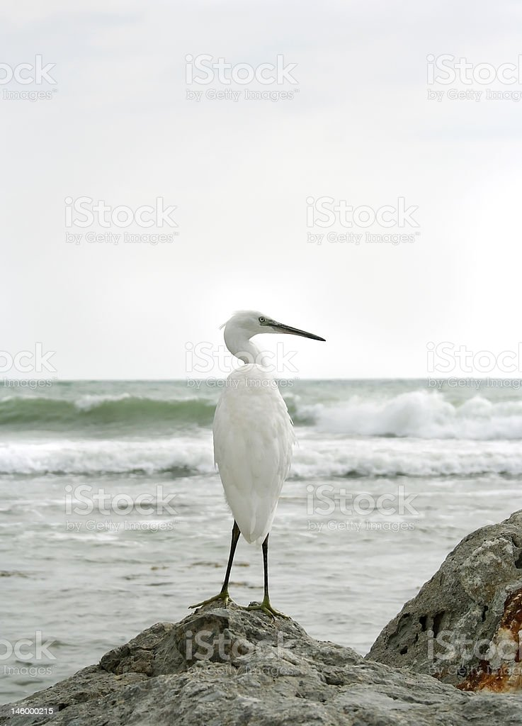 White heron royalty-free stock photo