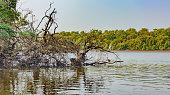 White heron standing in mangrove tunnels