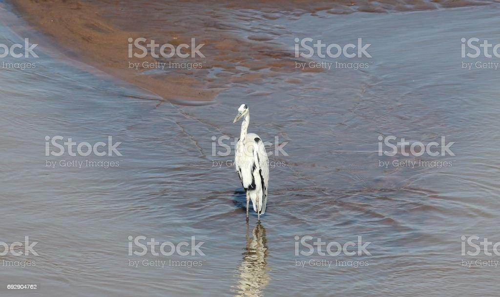 White heron standing in water / witte reiger in het water stock photo