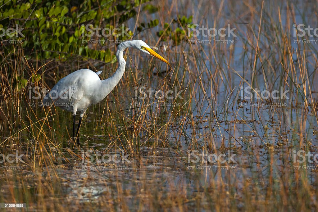 White Heron Wading and Looking for Prey stock photo