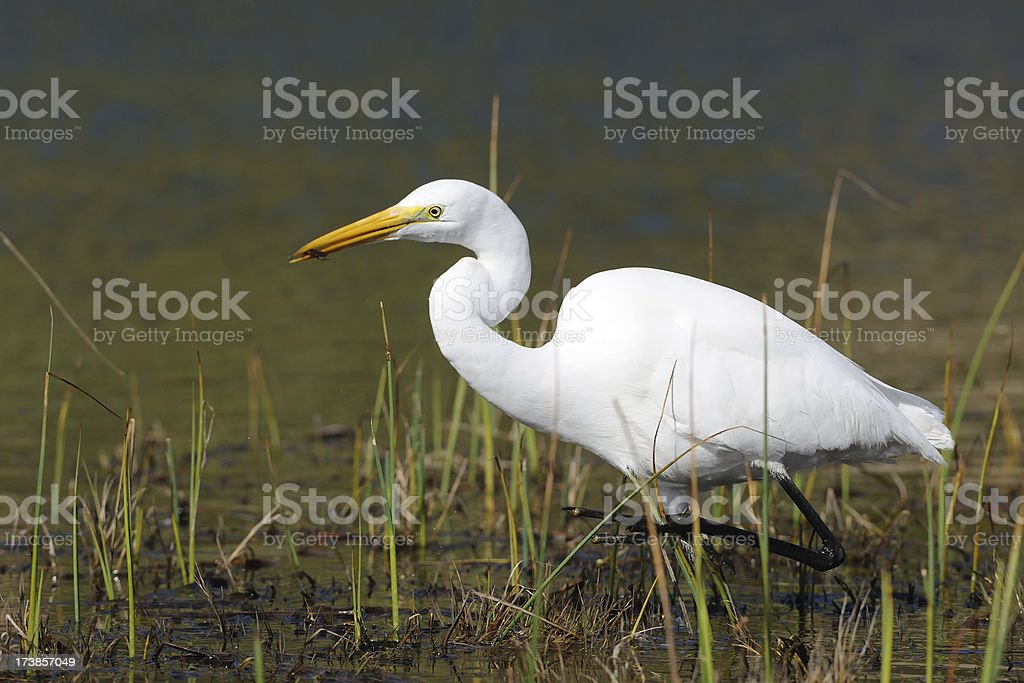 White Heron (Egret) with Prey in its Beak royalty-free stock photo