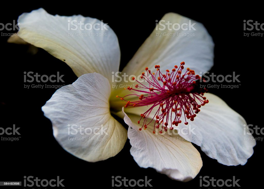 White Hibiscus Against Black Backdrop stock photo
