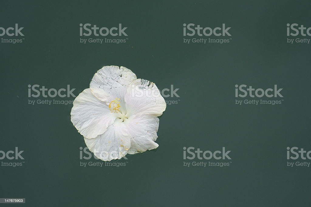 white hibiscus floating on the water royalty-free stock photo