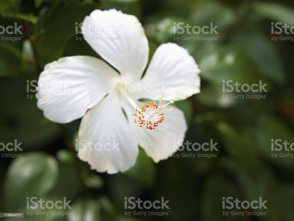 White hibiscus flower detail stock photo