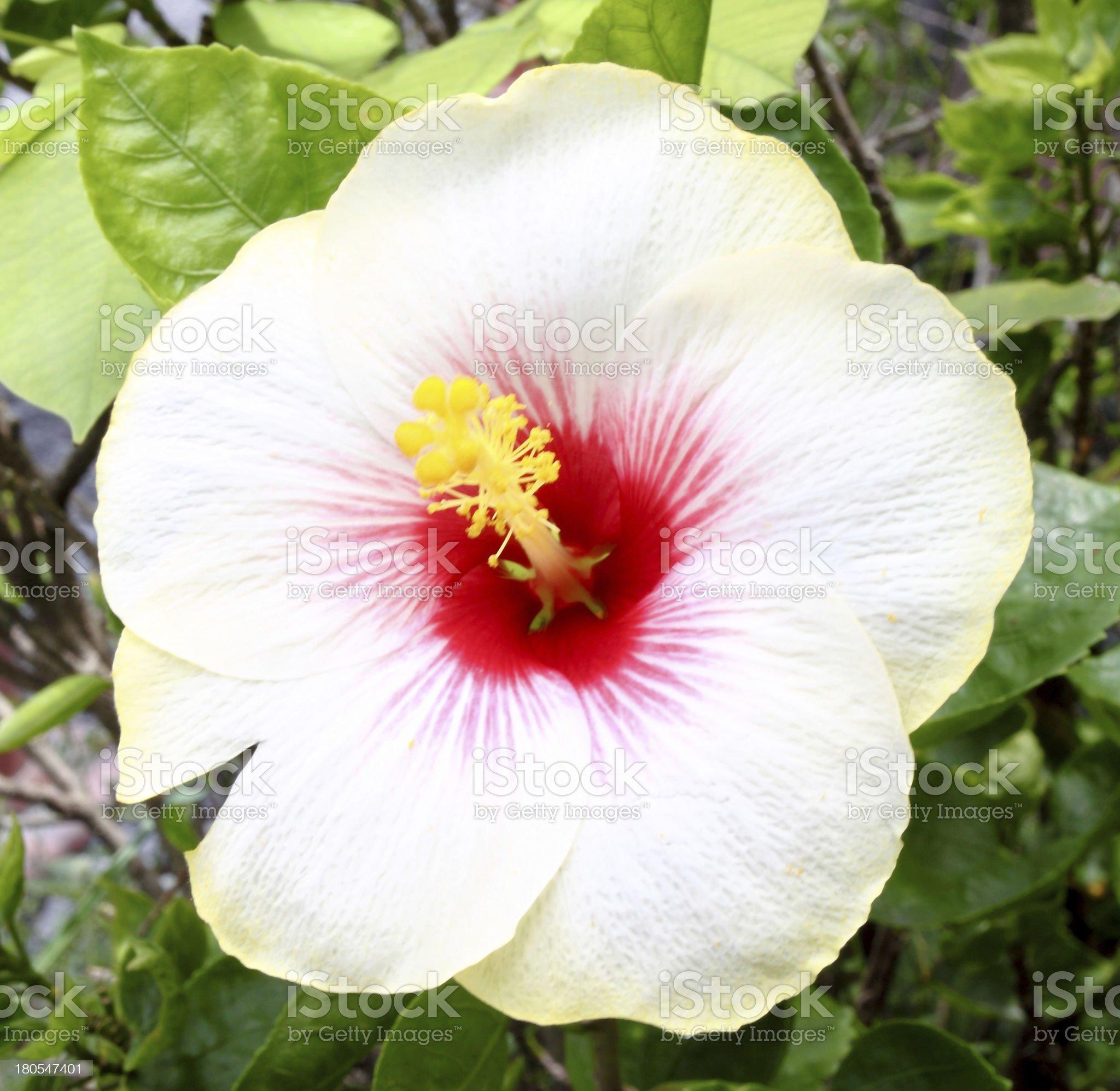 white hibiscus flower royalty-free stock photo