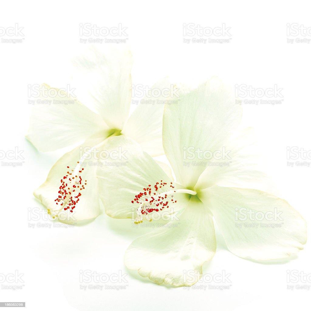 white Hibiscus royalty-free stock photo