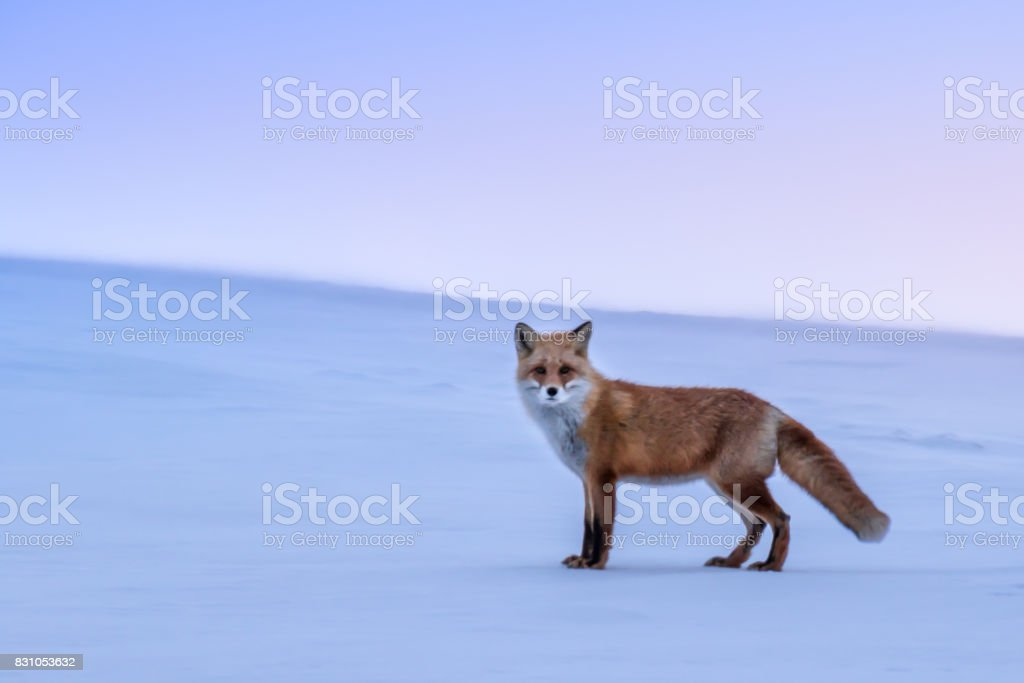 White hills and fox stock photo