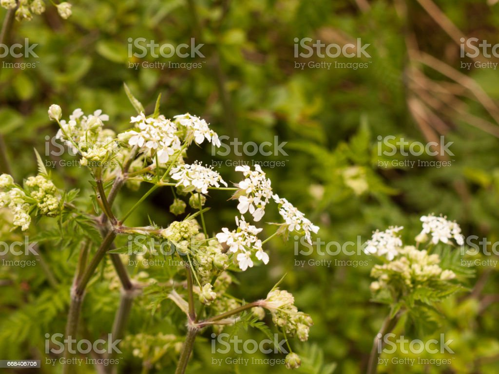 White Hogweed in the Spring Time Heat and Light Looking Peaceful stock photo