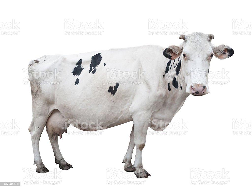 White Holstein cow. stock photo