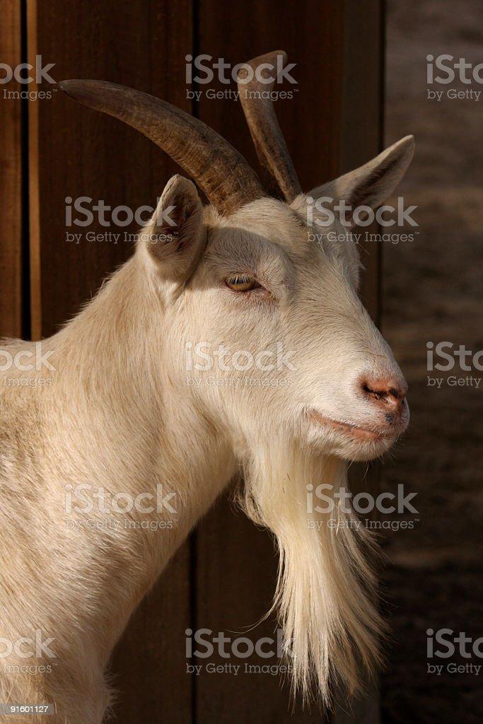 White Horned Bearded Goat Head Isolated Close Up royalty-free stock photo