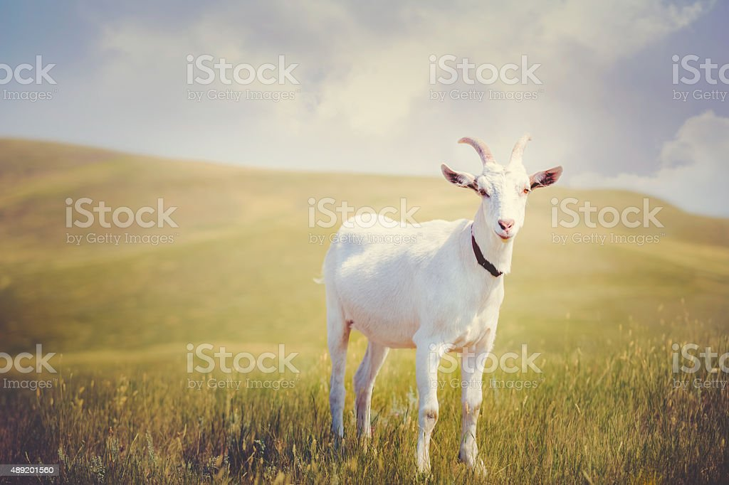 White Horned Billy Goat stock photo