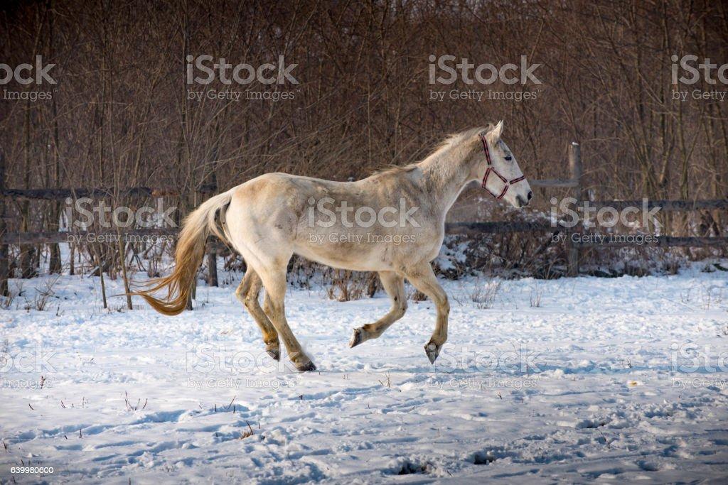 White hors on snow stock photo