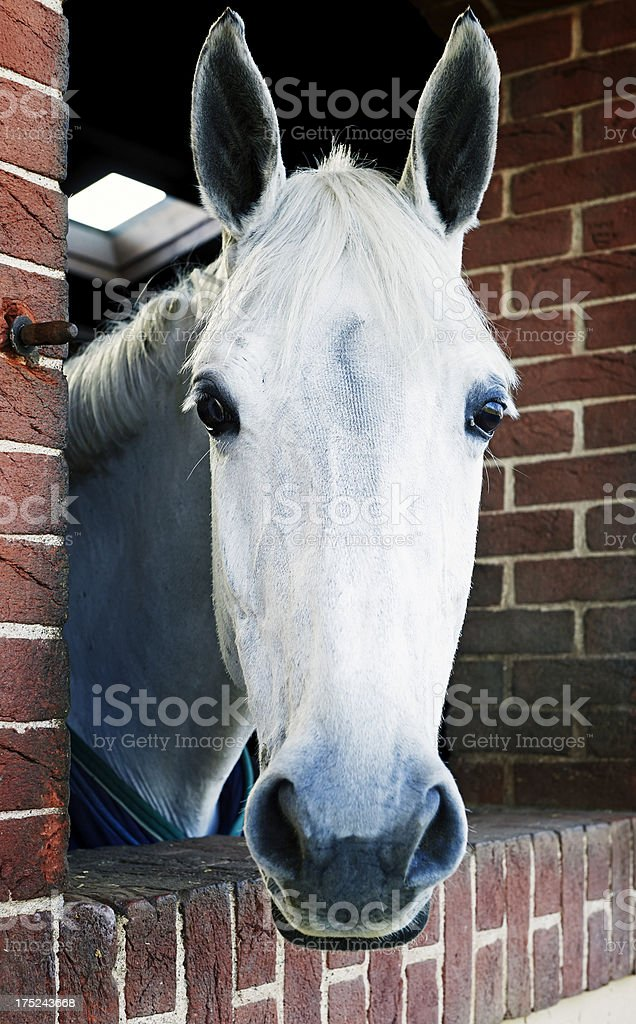 White Horse. Color Image royalty-free stock photo